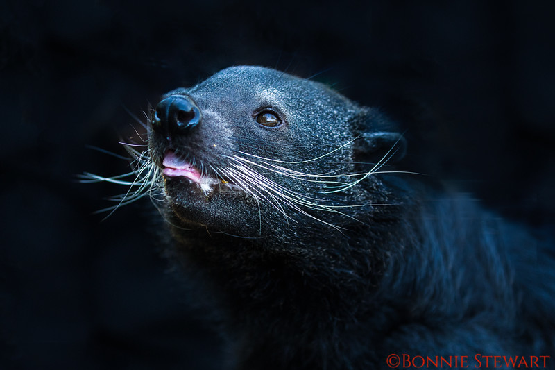 Binturong or Bearcat, native to South and South East Asia