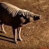 Porcini Pig