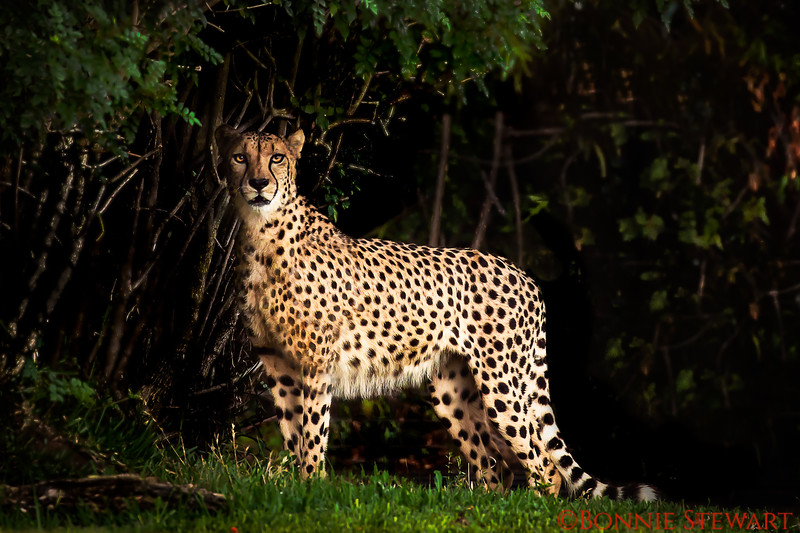 Cheetah in the forest