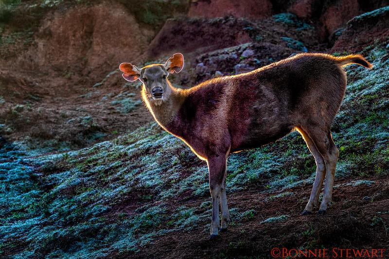 Back-lit Deer