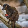 Orange eyed Lemur