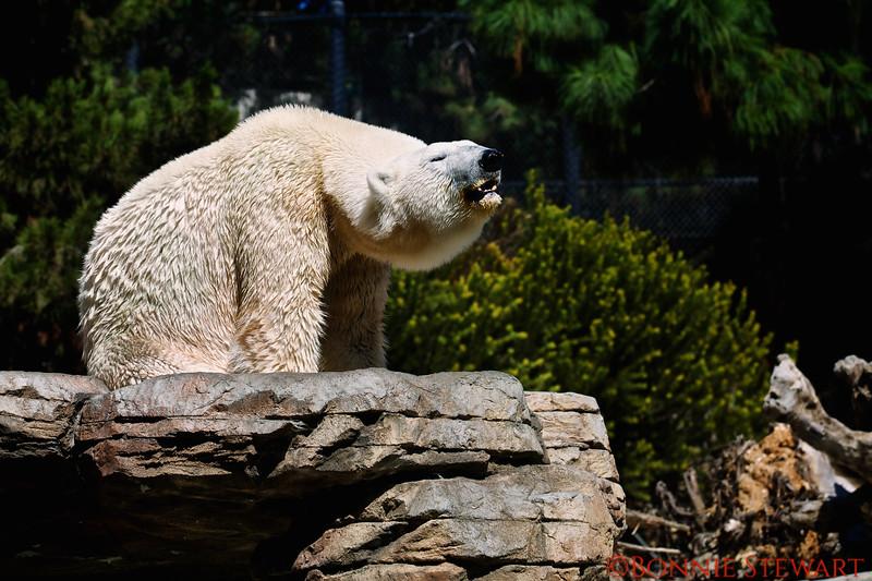 Polar Bear, San Diego Zoo