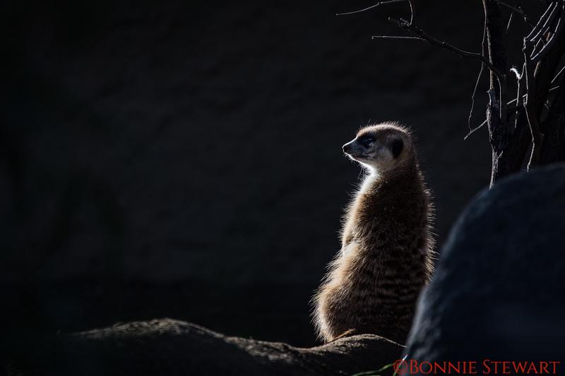 Meerkat with Back Lighting