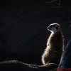 Meerkat with Back Lighting