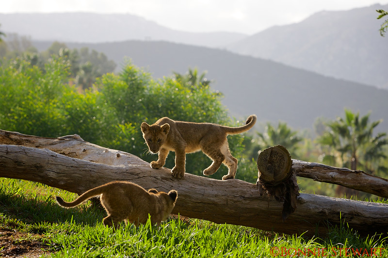 Lion cubs born in 2014
