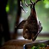 Fruit bat eating