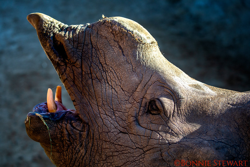Rhino eating from a human hand