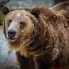 California Brown Bear
