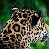 Jaguar looking at something!