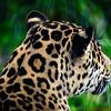Jaguar looking at something!