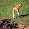 Wild Cattle and Giraffe looking at them