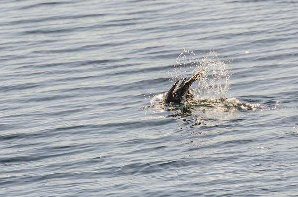 Kings Cormorant at Tinde Bay