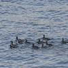 Ducklings in Moskenes