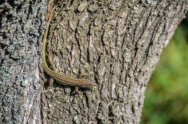 Lizzard on a Tree