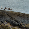 Seagull Family near Hamnøya