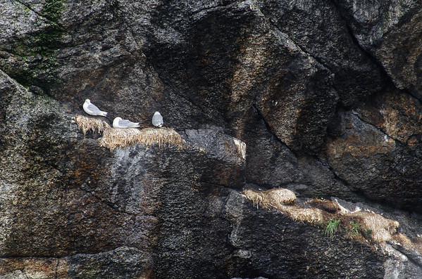 Nusfjord: Seagulls