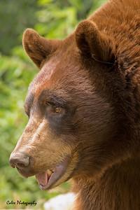 Cinnamon - The North American Black Bear