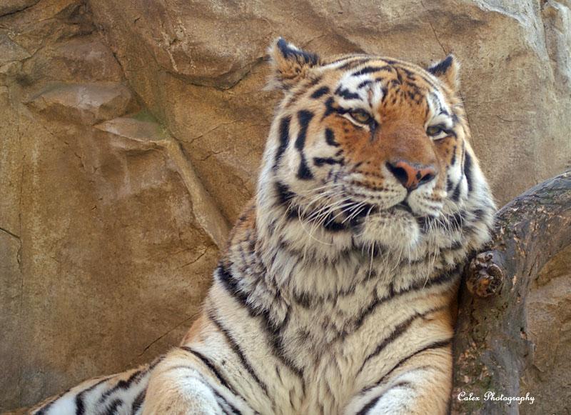 Tiger Chillin'