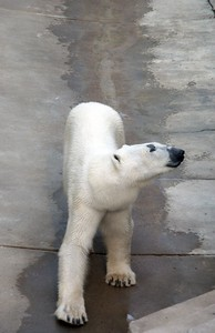 Male polar bears weight between 720 and 1,700 pounds. Polar bears use their large front paws as propeller to swim. They have been known to swim 100 miles at a stretch.