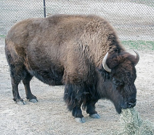 Early French settlers who saw herds living near the East Coast called them bison because they looked like a European cousin. A later English naturalist described them as buffalo which name stuck, even though the term is more correctly applied to other types of wild oxen found in Asia and Africa.