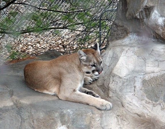 Puma (also known as the cougar). Originally lived throughout North and South America; now restricted to western Canada and U.S, and South America.