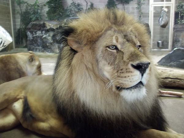 Lions are family animals and truly social in their environment. They usually live in groups of 15 or more animals, called prides.