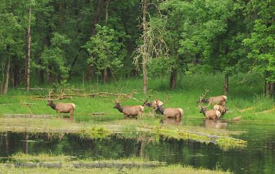 Through the water...Elk on Northwest Trek, Washington.