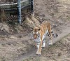 Tiger is the largest wild cat in the world. The big cat weights up to 720 pounds, streches 6 feet long, and has a 3 foot long tail.