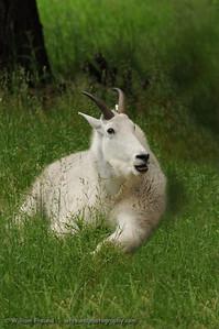 Mountain goat...on the ground...Northwest Trek, Washington