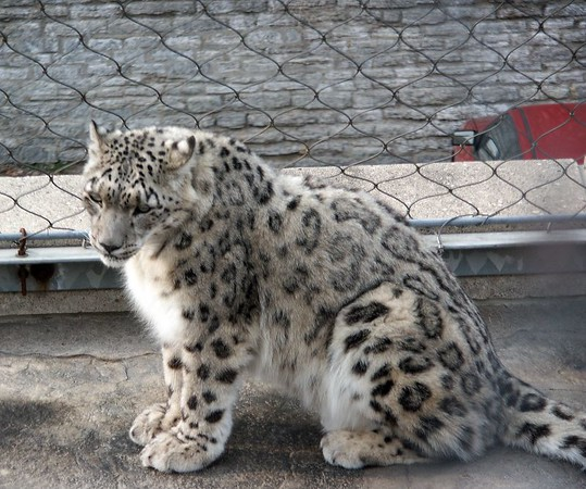 "Snow leopard is not closely related to the leopard family. The snow leopard can't give a full, deep roar and this along with differences in the skull characteristics help to separate it from its fellow ""big cats""."