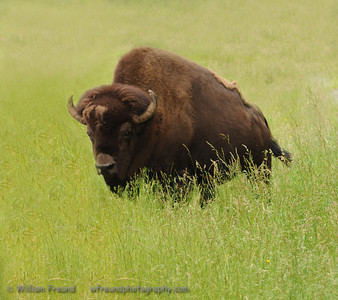 Bison, Northwest Trek, Washington.
