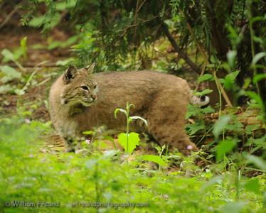 Bobcat, Northwest Trek, Washington.