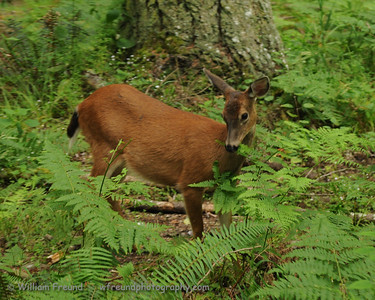 Black Tailed deer, Northwest Trek, Washington.