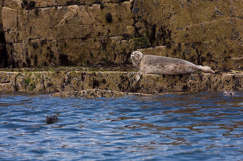 Three grey seals near the rocks