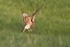 Female Montagu's Harrier (Circus pygargus)