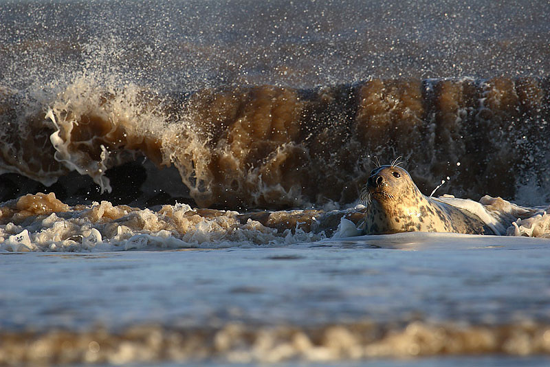 Grey seal and waves