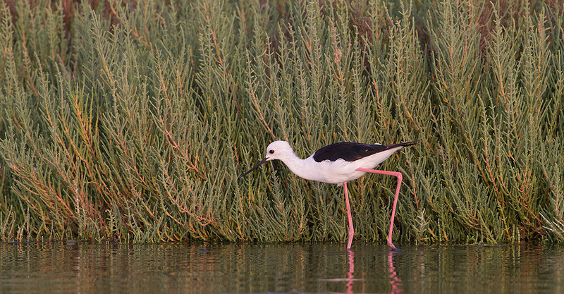 Cigüeñuela en la marisma. Sarcocornia fruticosa en el fondo<br /> Black-winged Stilt in the Saltmarsh with plants of Sarcocornia fruticosa in the background.