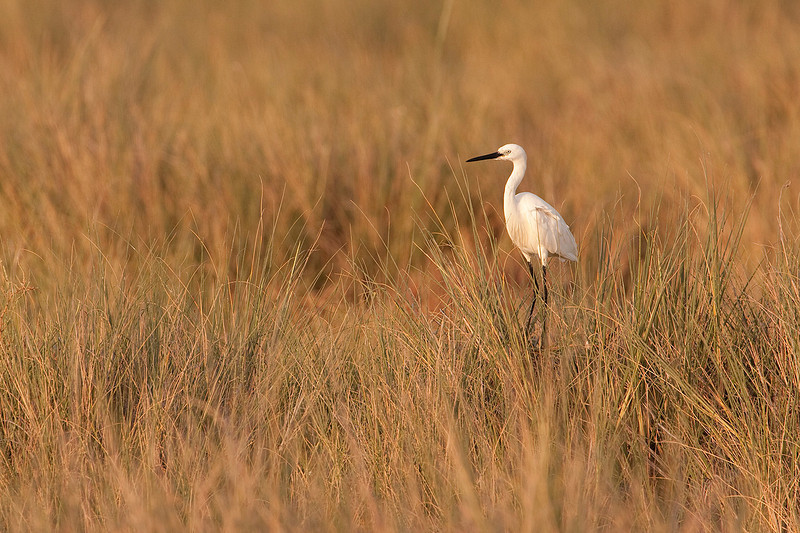 Sea of grass in the saltmarsh. Little egret in the sunset.