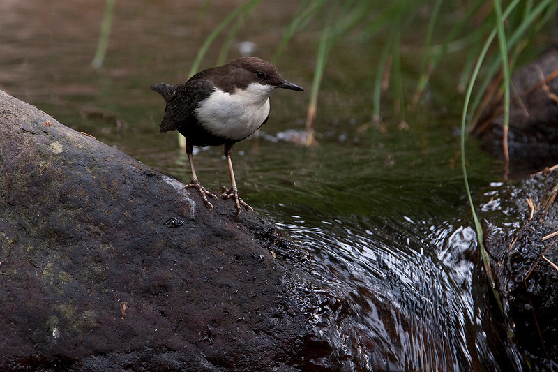 Stream and boulders under a dim light. The characteristic habitat of dipper in mountain streams, where boulders and transparent waters predominate. Light is usually dim and the rests of leaves and plants are important elements of the habitat.