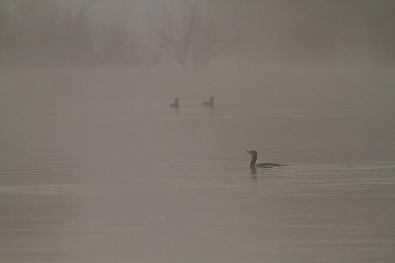 Cormoranes en la neblina