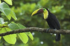 Ramphastos swainsonii (Tucán de Swainson)<br /> Raining in Costa Rica forests
