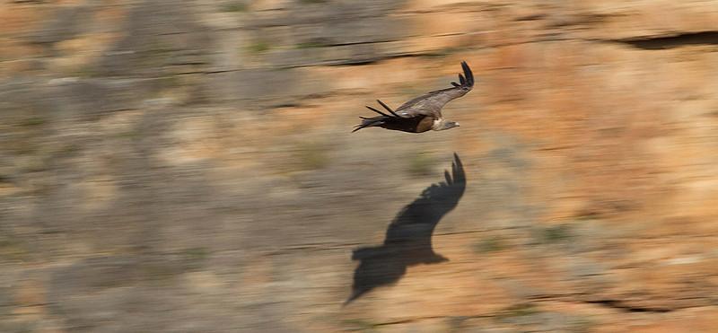 Gliding among cliffs: the Griffon Vulture.