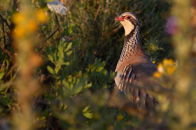 Are you still there? (Red legged partridge)