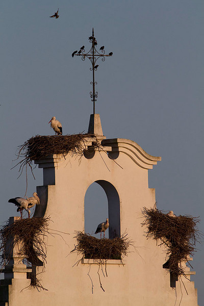 A classical Andalusian bird condominium, shared by storks, sparrows and starlings in the very start of breeding season.<br /> Cigüeñas, estorninos y gorriones. Finales de Febrero.