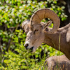 You lookin' at me?!<br /> <br /> Big Horn Sheep near the campground, Radium Hot Springs.