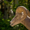 Big Horn Sheep near the campground, Radium Hot Springs.