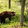 Very hot black bear just south of Jasper, Alberta