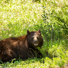 Very hot black bear just south of Jasper, Alberta