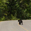 Black Bear, Jasper National Park