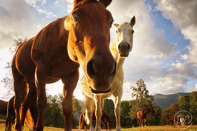 A couple of nosey horses in  Cades Cove Great Smoky Mountains